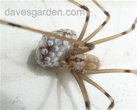 Bug Pictures: Daddy Long Legs (Pholcus phalangioides) by