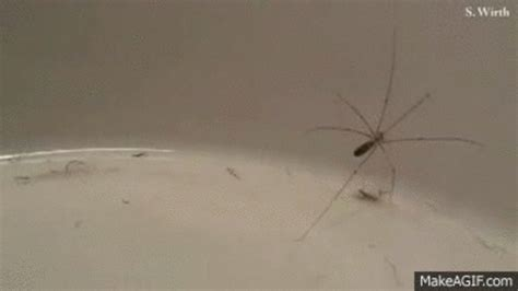 Debunked: Are Daddy Longlegs the most poisonous spiders in
