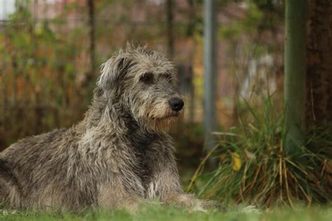 Aktuelles - DER IRISH WOLFHOUND – the one and only
